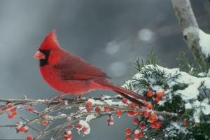 B3640A_Classy_cardinal