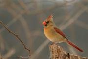 pIMG_2145_Female_Cardinal